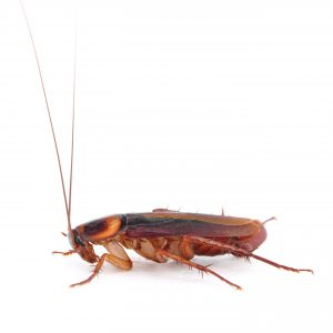 A close up of an adult cockroach