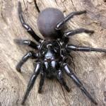 A large funnelweb spider on nice hardwood floors