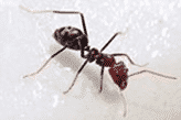 A large meat ant on white tiles