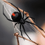 A redback spider creating it's web